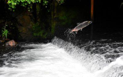 Des échelles et un ascenseur à poissons pour faciliter la remontée des poissons migrateurs